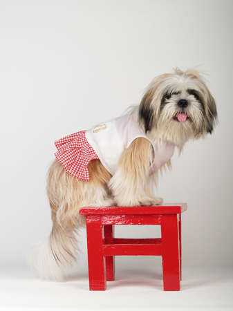 Shihtzu stand on the red stool in white background