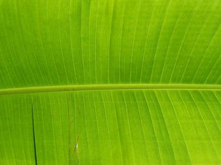 Banana leaf texture