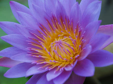 Closeup shot of purple lotus    Stock Photo