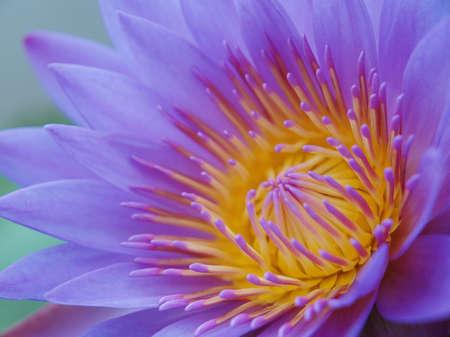 Closeup shot of purple lotus photo