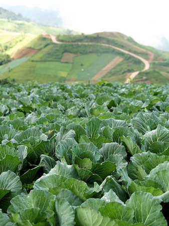 Cabbage field in rural life at Phutubberk, Thailand