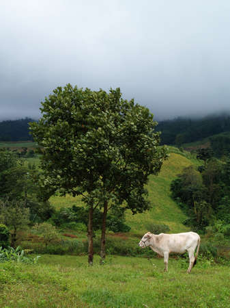 Cow eating grass among mist in the country field, Thailand   photo