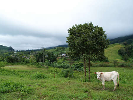 Cow eating grass among mist in the rural field, Thailand   photo