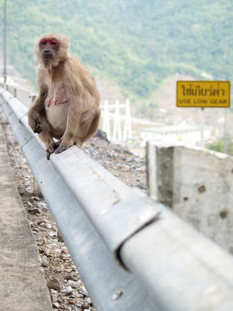Sad and lonely pregnant red face monkey sitting near road