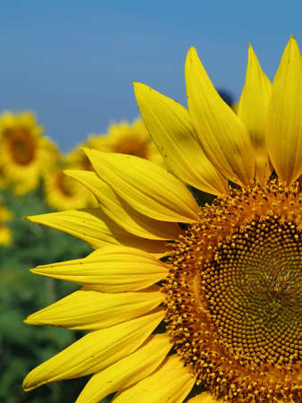 Sunflower in sunny day Stock Photo - 13031681