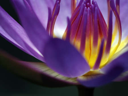 Beautiful purple water lotus isolated on black background     Stock Photo