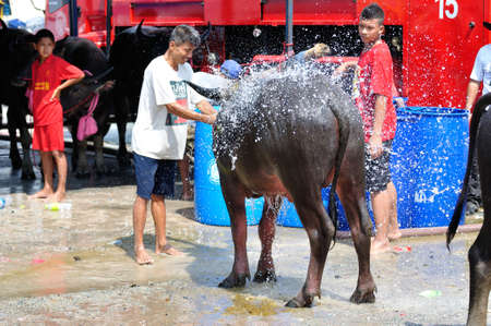Chonburi, Thailand - OCTOBER 29, 2012: Owner water his buffalo in order to relax during wait for competition at World Buffalo Carnival.