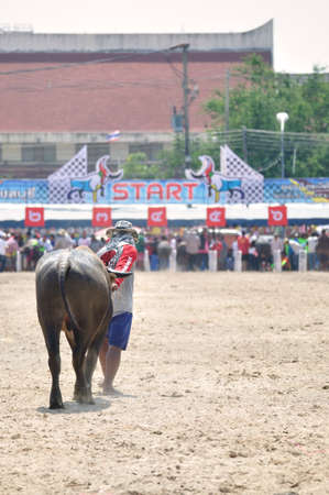 chonburi: Chonburi, Thailand – OCTOBER 29, 2012: Rider lead his Buffalo to start point for competition at Buffalo Racing Festival.