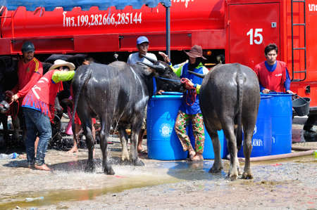 Chonburi, Thailand � OCTOBER 29, 2012: Owner water his buffalo in order to relax during wait for competition at Buffalo Racing Festival. Editorial