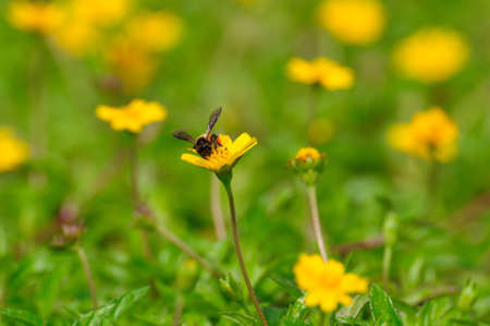 Bee swarms a sulfur cosmos flower in the field Stock Photo - 16552501