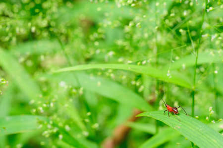 Red cricket with long antenna on a stalk of grass Stock Photo