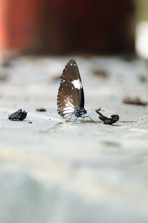si�o: Butterfly eating some sodium on ground