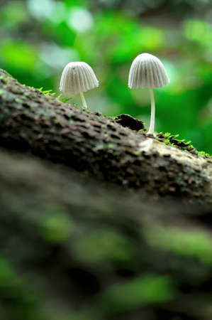Couple of white mushrooms on the log at National Park, Thailand  photo