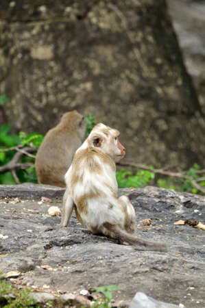 piebald: Albino piebald long-tailed macaque monkey in the forest, Thailand  Stock Photo