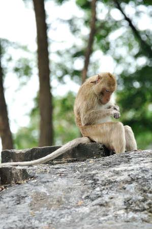 lice: Larga cola de mono macaco buscando garrapatas y piojos en el templo en Saraburi, Tailandia