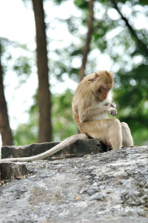 Long-tailed macaque monkey looking for ticks and lice at the temple in Saraburi, Thailand  Stock Photo - 18215089