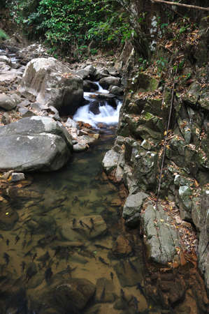 A school of Mahseer Barb fish in natural pond at Pliew Waterfall National Park, Chanthaburi, Thailand  Stock Photo
