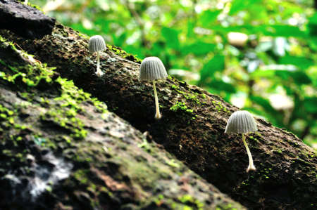 Three white mushrooms in a line on the timber at National Park, Thailand