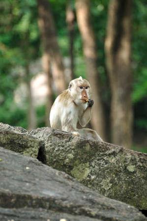 piebald: Albino picazo larga cola de mono macaco wating aperitivo en el bosque, Tailandia