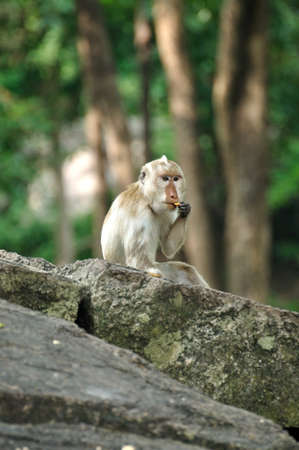 Albino piebald long-tailed macaque monkey wating snack in the forest, Thailand