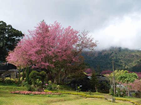 Thai sakura tree with many pink flower in the garden, Thailand