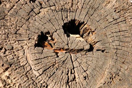 annual ring annual ring: texture of annual ring  growth ring  of tree