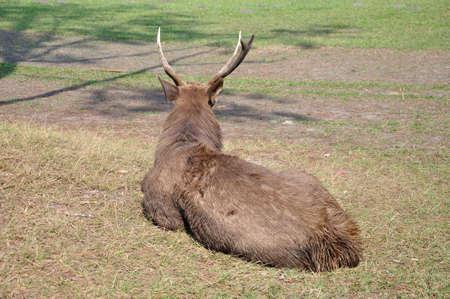 phukradueng: Back of Deer stag on the ground at Phukradueng National Park, Thailand