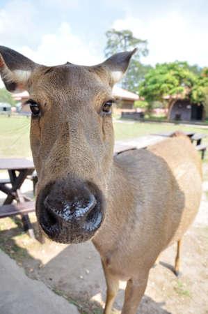 phukradueng: Closeup face of cute deer stag at Phukradueng National Park, Thailand  Stock Photo