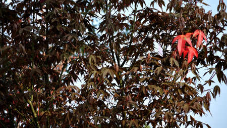 kradueng: Three red  maple leaves outstanding facing the morning light at Phu Kradueng National Park, Loei, Thailand