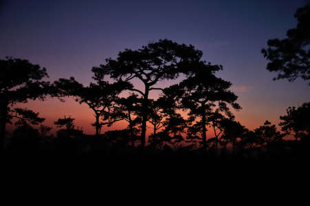 Beautiful silhouette of pine tree with twilight before sunrise at Phu Kradueng National Park, Loei, Thailand   photo