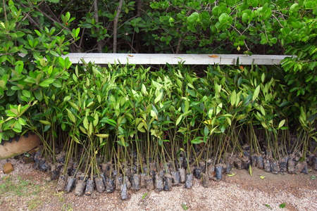 stop global warming: Little mangrove tree for stop global warming project in Thailand