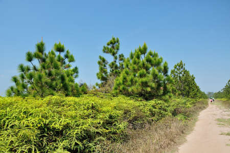 Pine forest in summer at Phu Kradueng National Park, Thailand  Stock Photo - 19261817