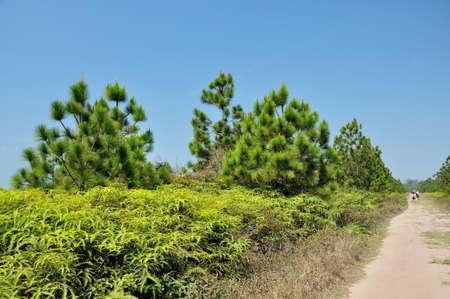 kradueng: Pine forest in summer at Phu Kradueng National Park, Thailand
