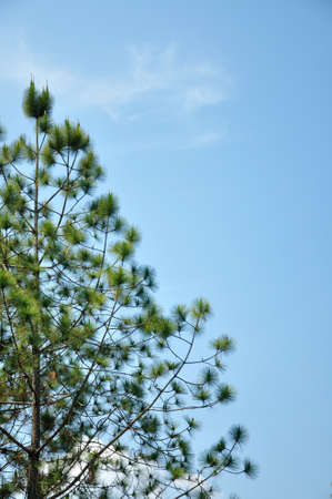 kradueng: Pine tree in summer at Phu Kradueng National Park, Thailand  Stock Photo