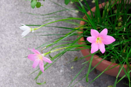 Pink and white rain lily flower   Zephyranthes