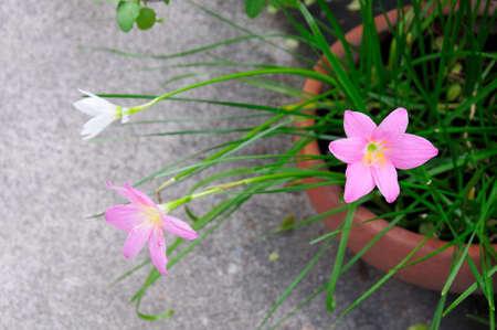 Rosa e branco chuva l
