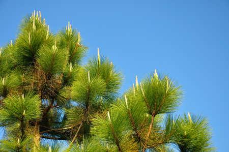 kradueng: Pine tree in blue sky at Phu Kradueng National Park, Thailand