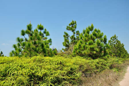 Pine forest in summer at Phu Kradueng National Park, Thailand  Stock Photo - 19422628