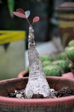 mirabilis: Poco Caudiciformi Phyllanthus mirabilis nel vaso di fiori di terracotta