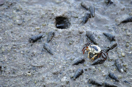 Female fiddler crab eats something at mangrove forest, Thailand. photo