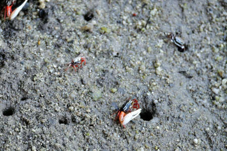 fiddler: Male fiddler crab in mangrove forest, Thailand. Stock Photo