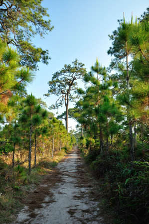 Pine forest in summer at Phu Kradueng National Park, Thailand