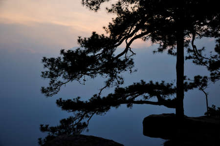 Silhouette of pine at Lom Sak cliff which famous place for watch sunset of Phu Kradueng National Park, Thailand