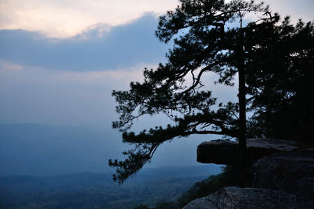 kradueng: Silhouette of pine at Lom Sak cliff which famous place for watch sunset of Phu Kradueng National Park, Thailand