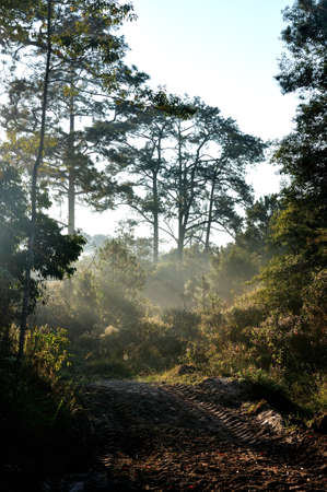 kradueng: Morning light shines on the forest at Phu Kradueng National Park, Thailand
