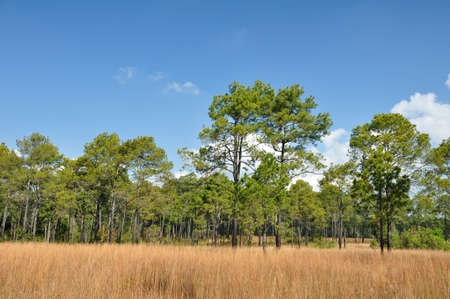 Savanna meadow and pine forest at Thung Salaeng Luang National Park, Thailand