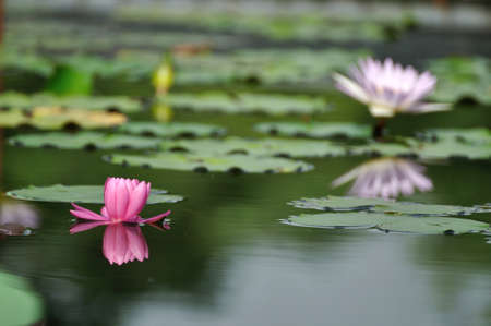 Pink water lily floating on the pond  photo