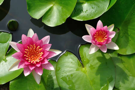 Pink waterlily lotus on the pond  Stock Photo