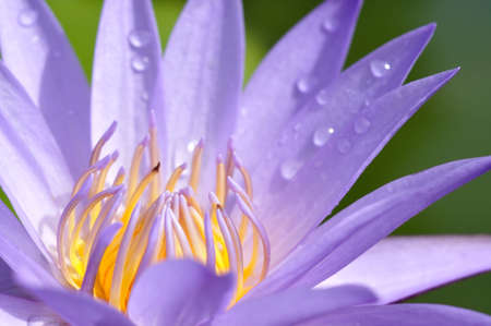 Closeup shot of purple lotus