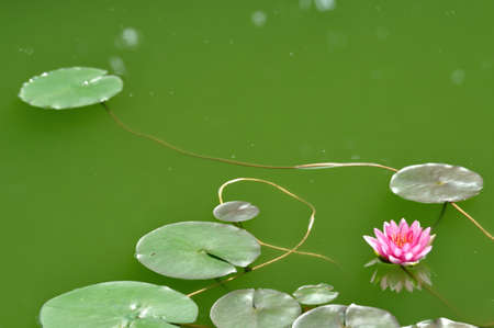 Pink lotus in the pond  photo